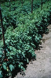 San Diego Master Gardeners Vegetable Planting Guide Tomato