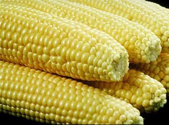 Sweet Corn Master Gardener Ociation Of San Go County