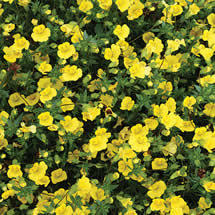 San diego master gardeners things to do in march golddust mercardonia this petite hybrid to 5 inches tall is a strong garden performer covered with cheery yellow flowers may to october mightylinksfo